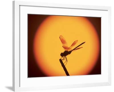Four-Spotted Pennant, Welder Wildlife Refuge, Sinton, Texas, USA-Rolf Nussbaumer-Framed Photographic Print