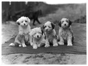 Four Tibetan Terrier Puppies Sitting in a Row. Owner: Greig