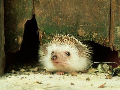 Four-Toed Hedgehog, England, UK-Les Stocker-Photographic Print