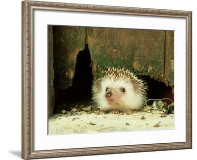 Four-Toed Hedgehog, England, UK-Les Stocker-Framed Photographic Print