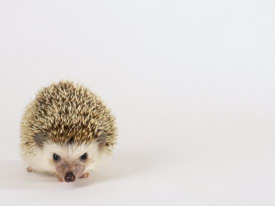 Four-Toed Hedgehog-Les Stocker-Photographic Print