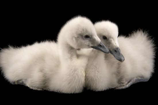 Four Week Old Female Black Necked Swans, Cygnus Melancoryphus-Joel Sartore-Photographic Print