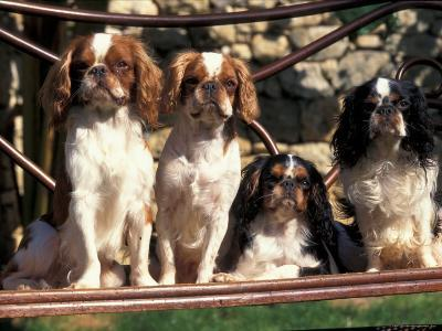 Four Young King Charles Cavalier Spaniels-Adriano Bacchella-Photographic Print