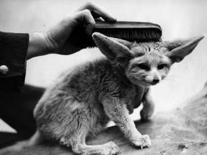 Fox Brush