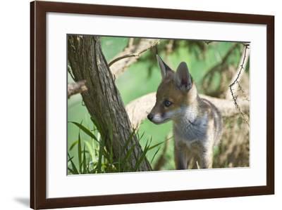 Fox Cub-Veneratio-Framed Photographic Print