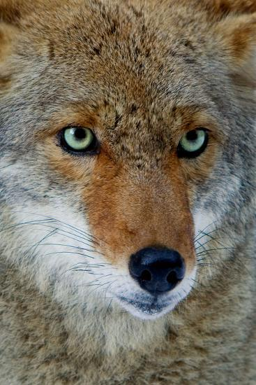 Fox Face-Howard Ruby-Photographic Print