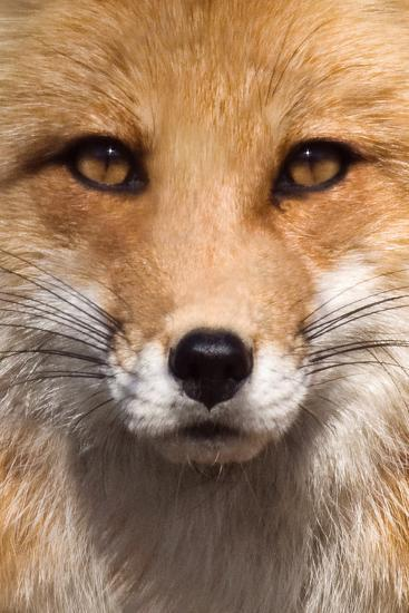 Fox Face-Lantern Press-Art Print