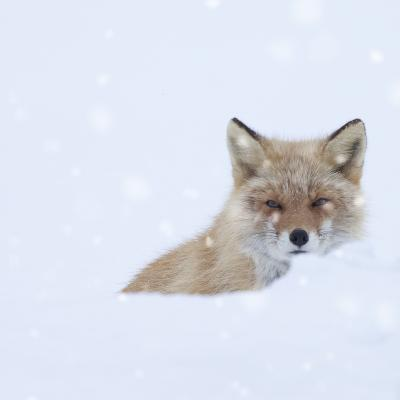 Fox in Snow Field-ICHIRO-Photographic Print