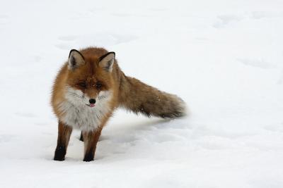 Fox in Snow-natburr-Photographic Print