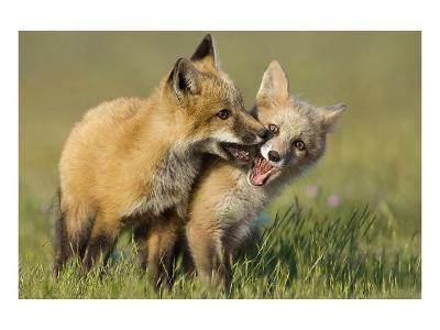 Fox Kits At Play--Art Print