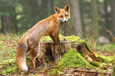 Fox on Stump-Miroslav Hlavko-Photographic Print