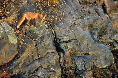 Fox on the Rocks-Yves Adams-Photographic Print