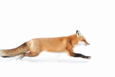 Fox on the Run - Algonquin Park-Jim Cumming-Photographic Print