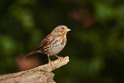 Fox Sparrow-Gary Carter-Photographic Print