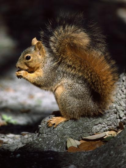 Fox Squirrel Stands on a Rock-Jeff Foott-Photographic Print