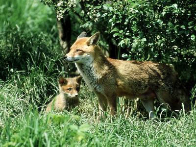 Fox, Vixen with Cub, Surrey-David Tipling-Photographic Print