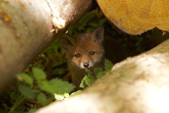 Fox, Vulpes Vulpes, Young, Watching, Camera, Tree-Trunks, Detail, Blurred, Nature, Fauna-Chris Seba-Photographic Print
