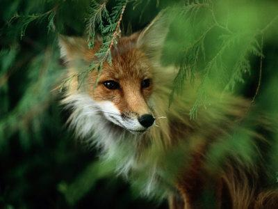 Fox with Porcupine Quills in its Nose-Medford Taylor-Photographic Print