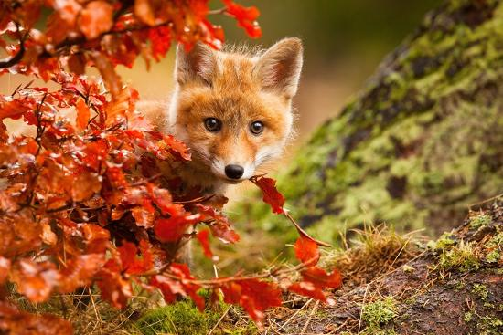 Fox-Robert Adamec-Photographic Print