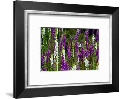 Foxglove, southern side, Mount St. Helens National Volcanic Monument, WA.-Michel Hersen-Framed Photographic Print