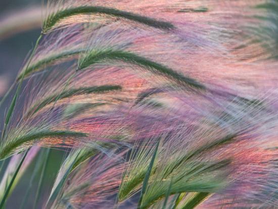 Foxtail Barley Backilt Near East Glacier, Montana, USA-Chuck Haney-Photographic Print