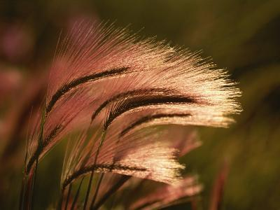 Foxtail Grass in Sunlight--Photographic Print