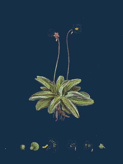 Fragaria Vesca; Wild Strawberry--Giclee Print