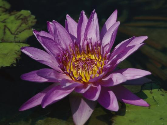 Fragrant Water Lily Flower--Photographic Print