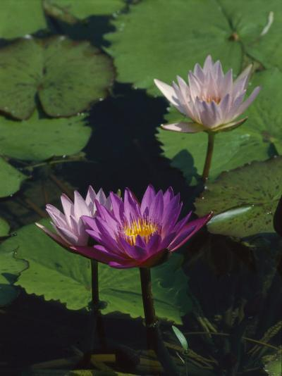 Fragrant Water Lily Flowers-Richard Nowitz-Photographic Print