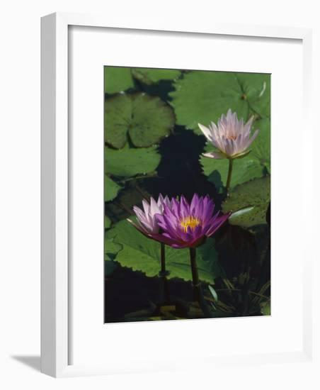 Fragrant Water Lily Flowers-Richard Nowitz-Framed Photographic Print