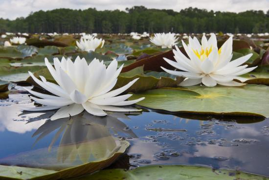 Fragrant Water Lily (Nymphaea Odorata) on Caddo Lake, Texas, USA-Larry Ditto-Photographic Print