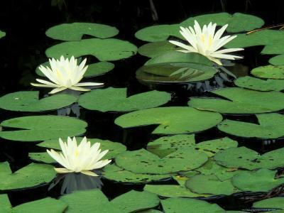 Fragrant Water Lilys, Green Swamp Ecological Reserve, North Carolina, USA-Adam Jones-Photographic Print