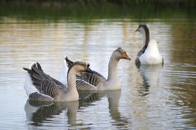 France, Burgundy, Nievre, Cercy La Tour. Geese on the Canal-Kevin Oke-Photographic Print