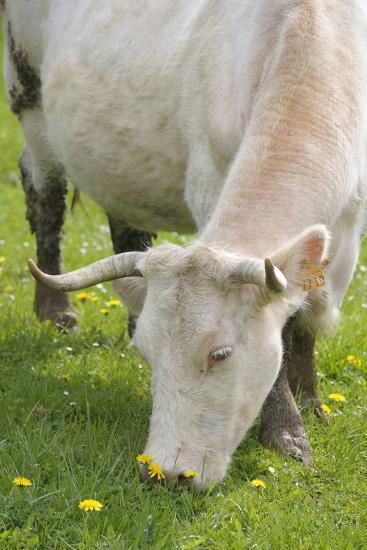 France, Burgundy, Nievre, Sardy Les Epiry. Cow Eating Grass-Kevin Oke-Photographic Print