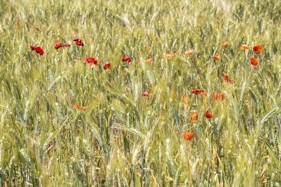 France Provence Collection - Wheat Field-Philippe Hugonnard-Photographic Print