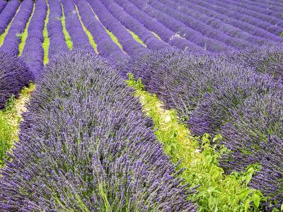 France, Provence, Patterns in the Lavender Field Near Roussillon-Terry Eggers-Photographic Print