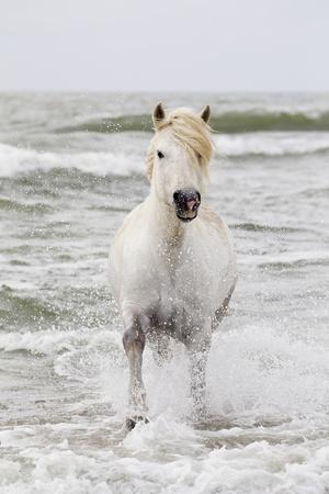 https://imgc.artprintimages.com/img/print/france-the-camargue-saintes-maries-de-la-mer-camargue-horse-in-the-mediterranean-sea_u-l-q1d57da0.jpg?p=0