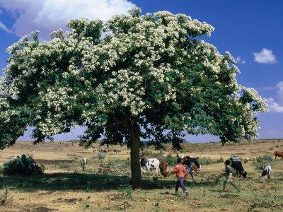 People and Cows Near Shady Tree, Barentu, Eritrea
