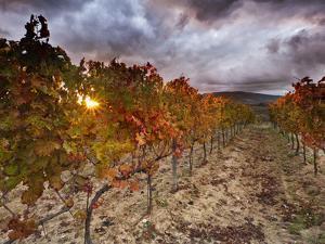 Italy, Umbria, Perugia District, Autumnal Vineyards Near Montefalco by Francesco Iacobelli