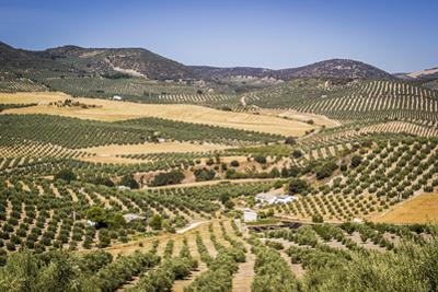 Spain, Andalucia. Olive Trees Endless Field in Summer. by Francesco Riccardo Iacomino