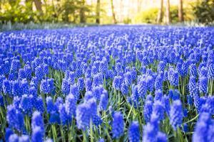 Tulips and flowers at Keukenhof gardens, Lisse, Netherlands by Francesco Riccardo Iacomino