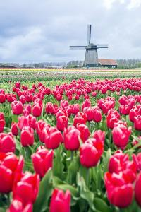 Windmills and tulip fields full of flowers in Netherland by Francesco Riccardo Iacomino