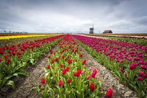 Windmills and tulip fields full of flowers in the Netherlands by Francesco Riccardo Iacomino