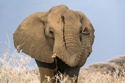 Portrait of a male elephant, Etosha National Park, Oshikoto region, Namibia, Africa by Francesco Vaninetti