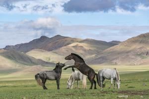Wild horses playing and grazing and Khangai mountains in the background, Hovsgol province, Mongolia by Francesco Vaninetti