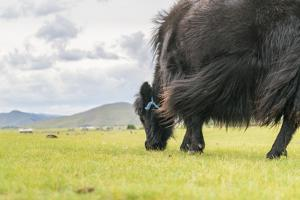 Yak grazing, Orkhon valley, South Hangay province, Mongolia, Central Asia, Asia by Francesco Vaninetti