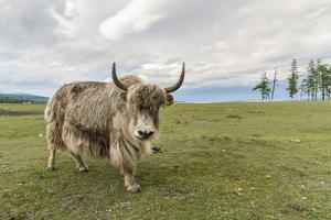 Yak on the shores of Hovsgol Lake, Hovsgol province, Mongolia, Central Asia, Asia by Francesco Vaninetti