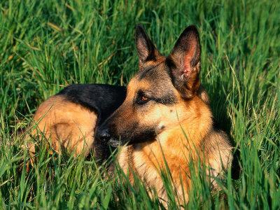 German Shepherd Lying in Grass