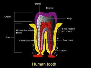 Human Tooth Anatomy, Diagram by Francis Leroy
