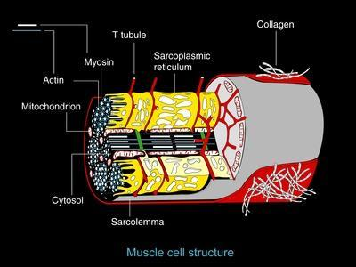 Muscle Cell Anatomy, Artwork